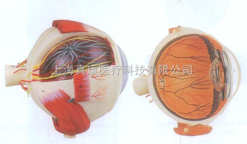 描述眼球壁的结构