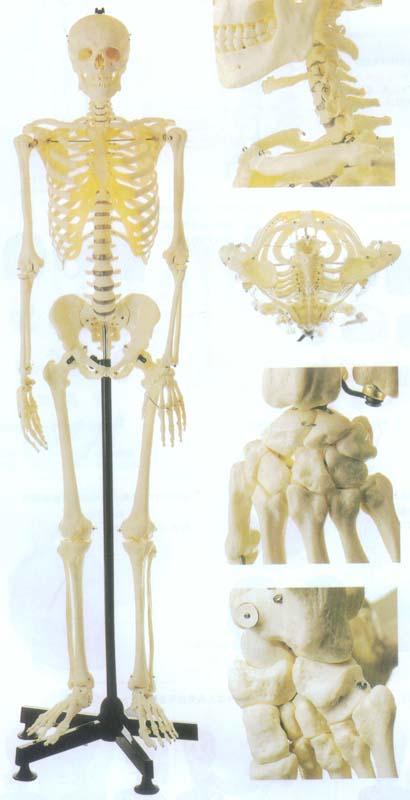 男性全身骨骼模型