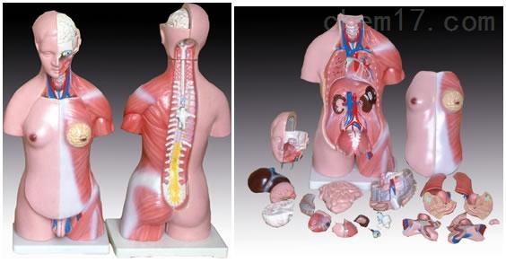两性躯干模型23件 45CM 人体各大器官