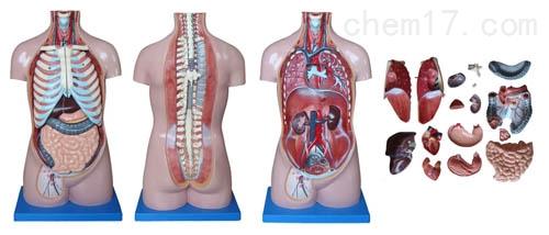 无性躯干模型17件 70CM  人体各大器官
