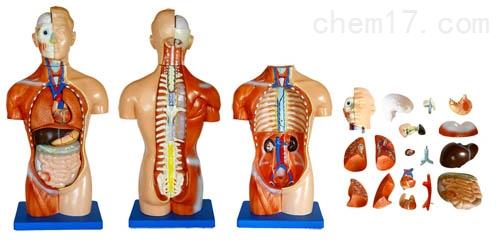 无性躯干模型18件 42CM  人体各大器官