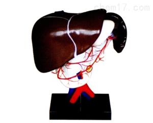腹腔动脉的配布  解剖模型