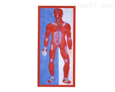 肌肉系统浮雕模型