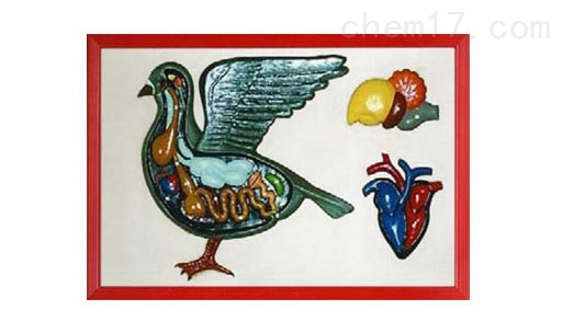 家鸽解剖浮雕模型