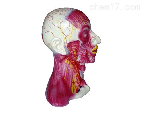 咀嚼肌  解剖模型