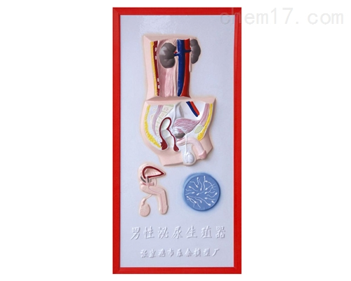 男性泌尿生殖系统浮雕模型