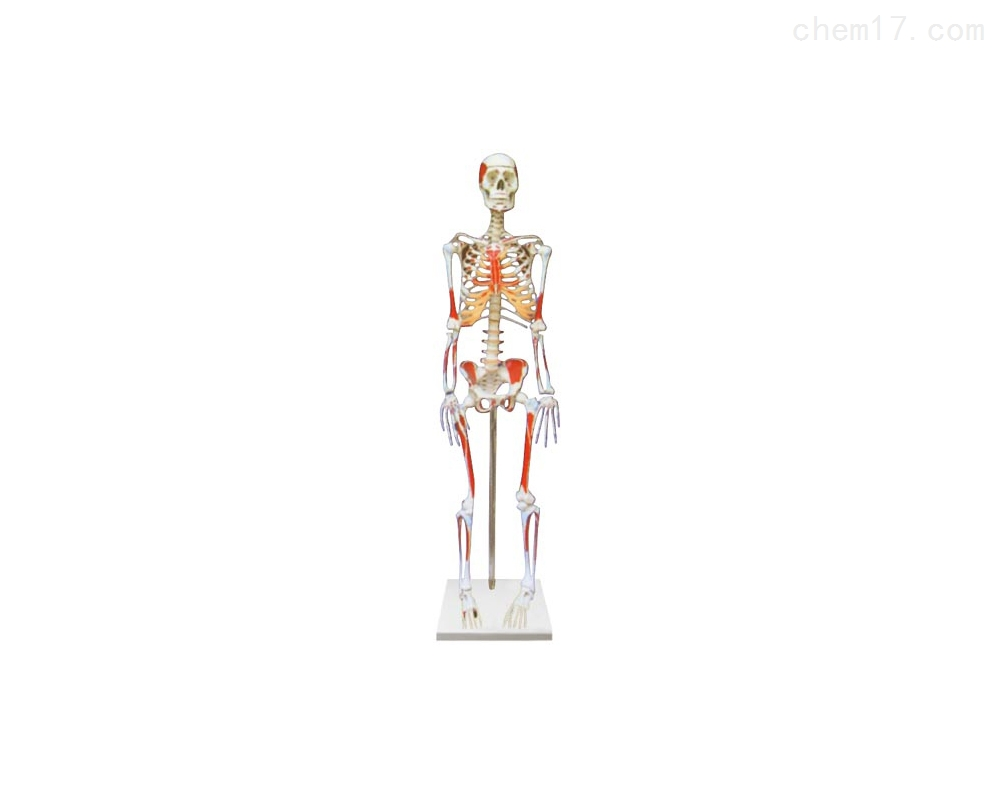 人体骨骼附肌肉起止点着色模型