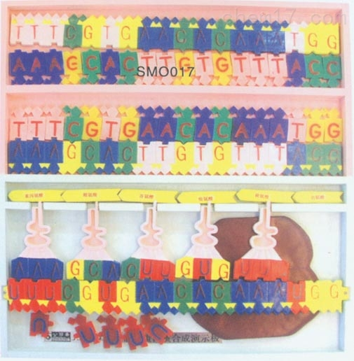 DNA结构及复制模型 生物模型