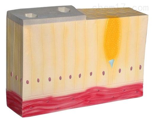 单层柱状上皮组织 生物模型