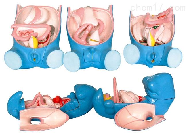 消化、呼吸、泌尿、生殖、体腔发生(5部件) 生物模型