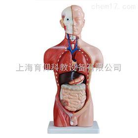 男性躯干模型42CM(13件) 人体躯干模型