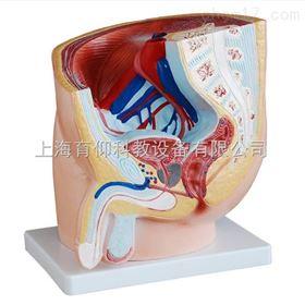 男性盆腔正中矢状解剖模型(1件)|泌尿生殖系统模型