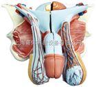 高级男性内外生殖器模型5件|泌尿生殖系统模型