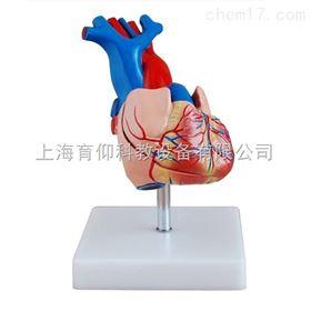 自然大心脏解剖模型|脉管感觉系统模型