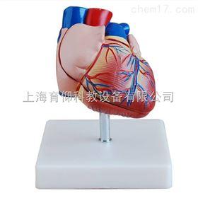新型自然大心脏解剖模型|脉管感觉系统模型