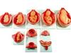 KAH-XC818上海胎儿妊娠发育过程模型
