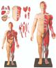 GD/A10001人体全身层次肌肉附内脏模型
