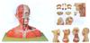 GD/A18211头颈部肌肉、血管附脑模型
