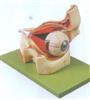 GD/A17104眼球与眼眶放大模型