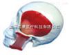 SMD0062头颅骨模型附肌肉  教学模型