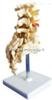 SMD01523腰骶椎与神经模型(4个腰椎)  教学模型