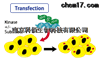 BA/F3_NPM-ALK 激酶细胞株